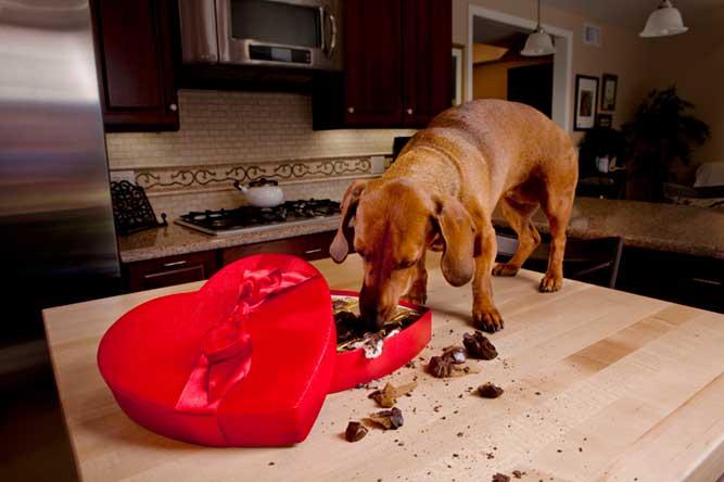 テーブルの上に登りお菓子を食べる犬