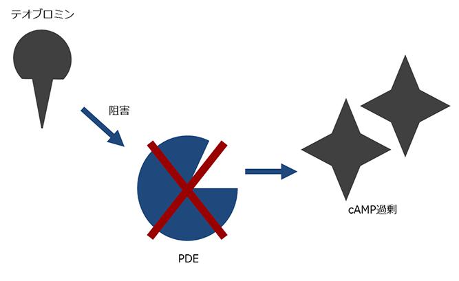 細胞内で情報を伝達する物質(cAMP)の増加を抑える酵素(PDE)の働きが阻害され、cAMPが過剰になります