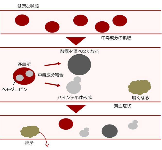 ネギ類を食べてしまった場合、中毒成分が消化管で吸収されて血液中に入ると赤血球の酸化障害を引き起こし、その結果、貧血症状を発症します。