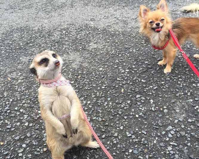 犬とミーアキャットが一緒にお散歩