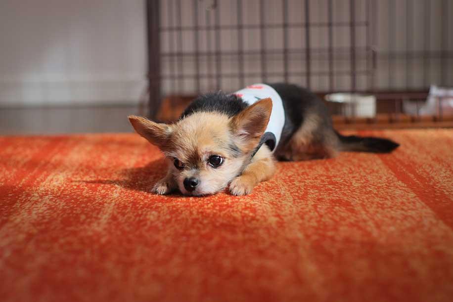不安そうに伏せる小さな犬