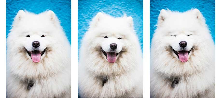 様々な表情のサモエドの画像