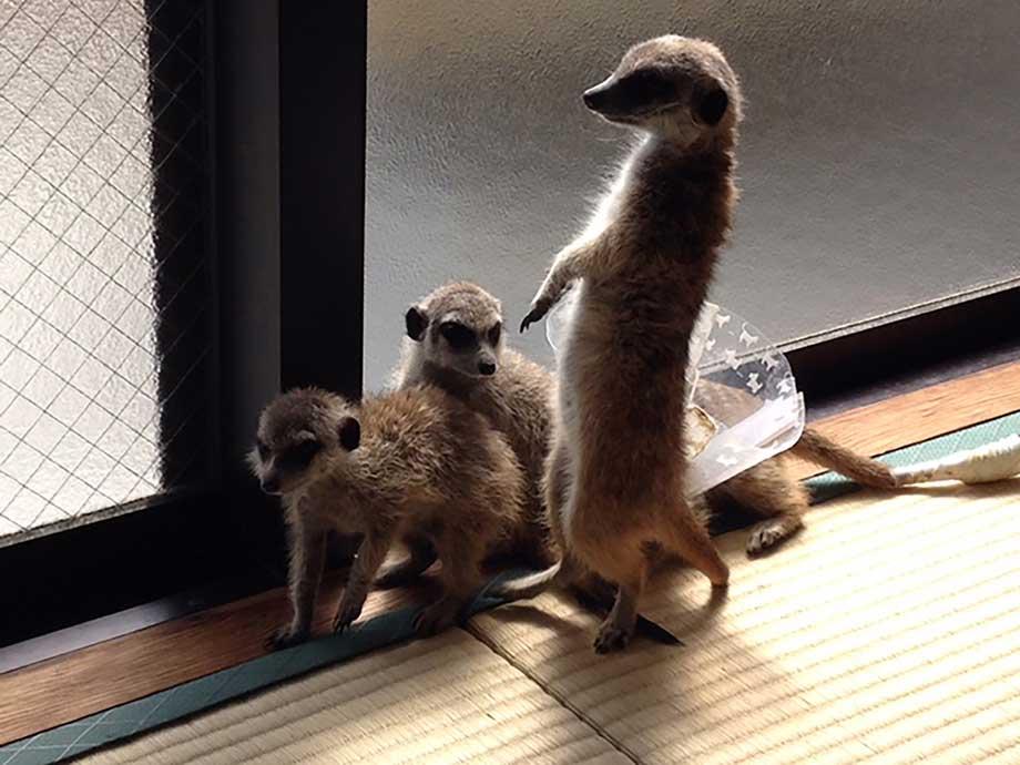 3頭で群れるミーアキャット