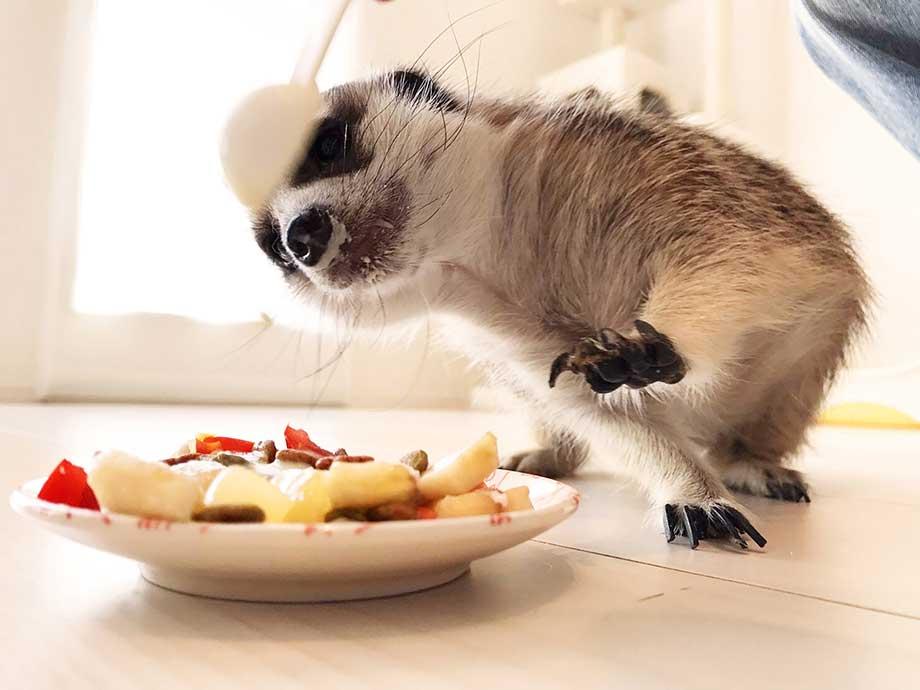 バナナを食べるミーアキャット