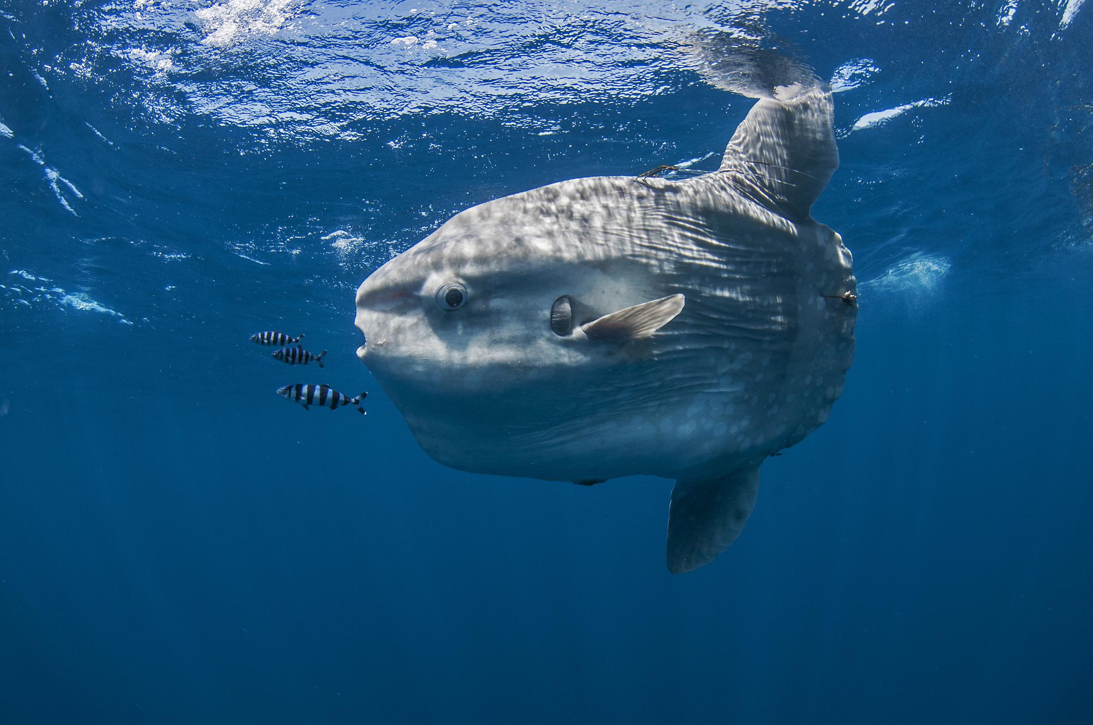 マンボウ~ヘッド・フィッシュとも呼ばれるユニークな姿の巨大魚