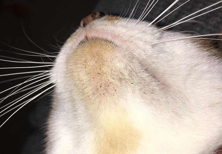 猫 あご にきび