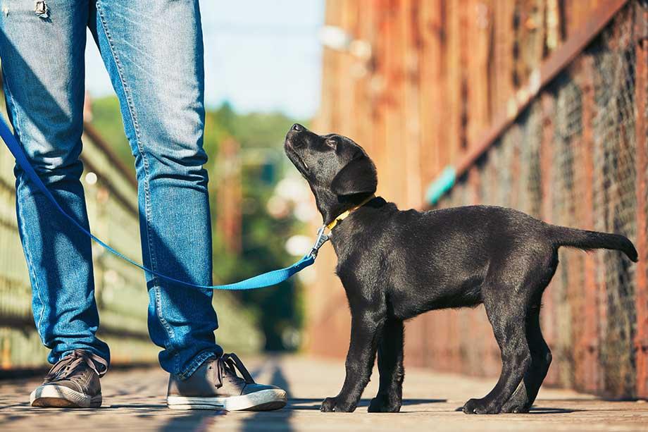 お散歩中に飼い主を見つめる子犬