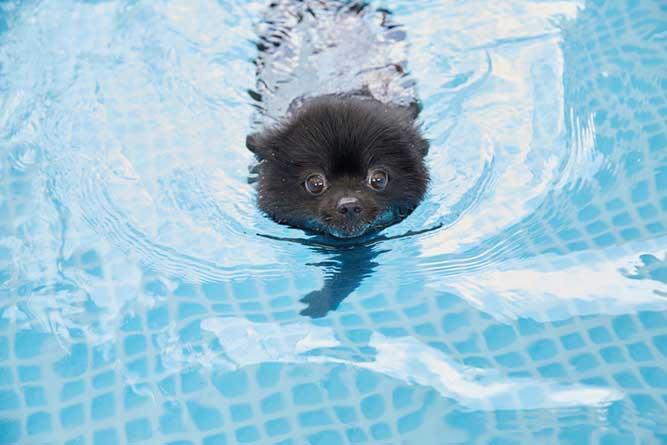 泳ぐポメラニアン