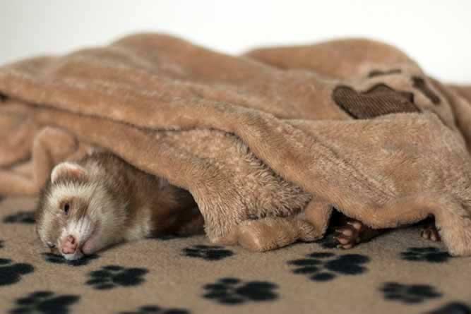 一匹のフェレットが毛布の下で練っている