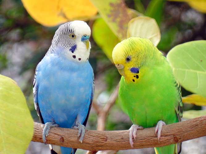 鳥種図鑑】おしゃべり大好き!とってもフレンドリーなセキセイインコ!|anicom you(アニコムユー)