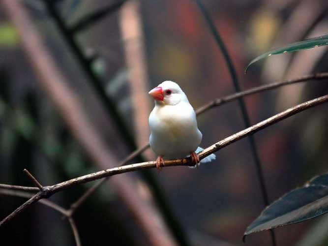 文鳥の画像