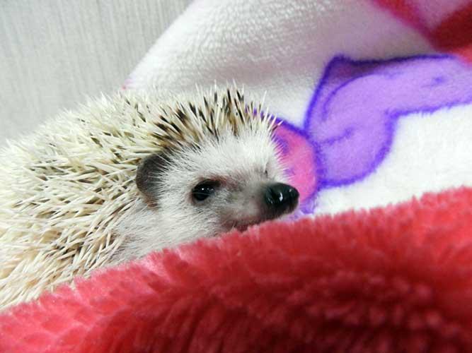 毛布にくるまるハリネズミの写真