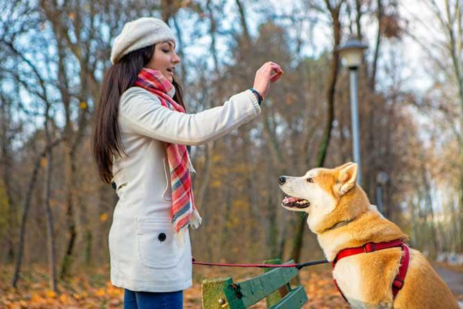 秋田犬にしつけをする女性