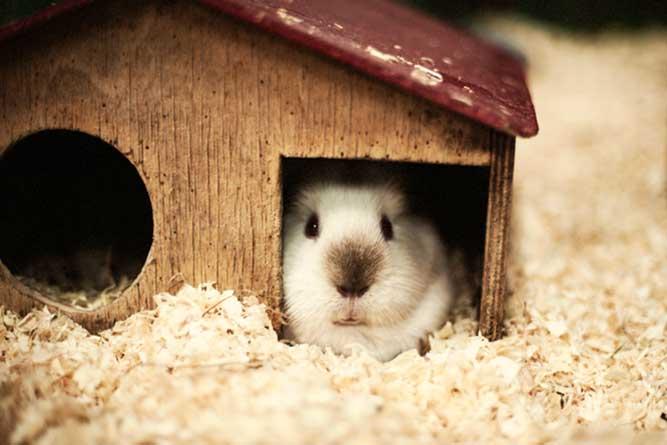 小屋で佇むモルモット