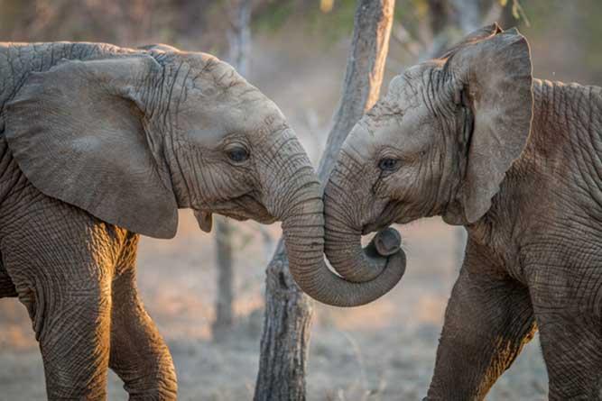 じゃれる二頭の象