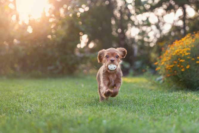ボールを加えて走る子犬