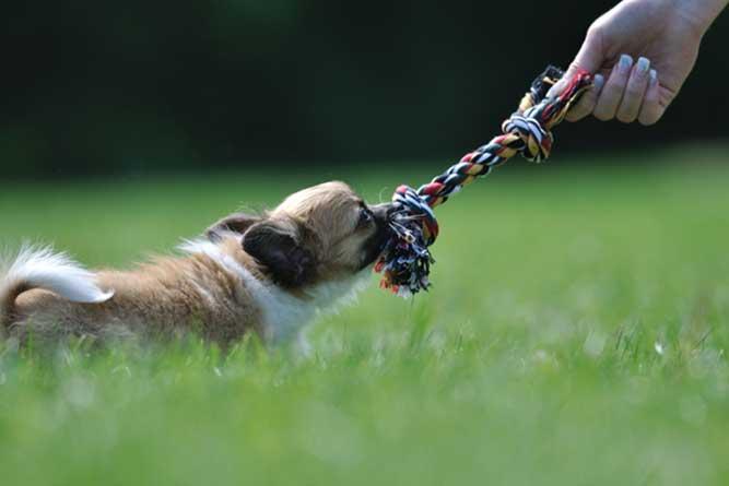 おもちゃを引っぱりっこして遊ぶ犬