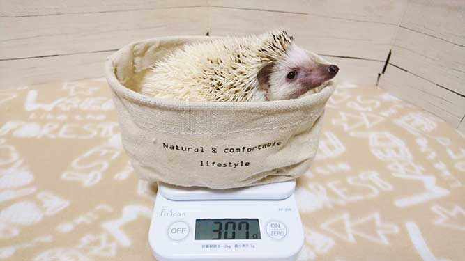 体重を計るハリネズミ