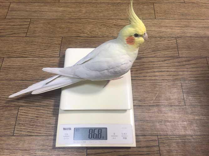 体重計に乗った鳥