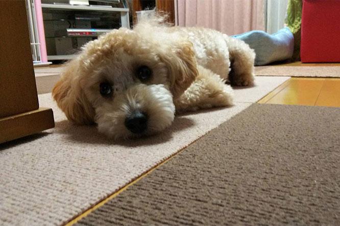 部屋でリラックスする保護犬の画像