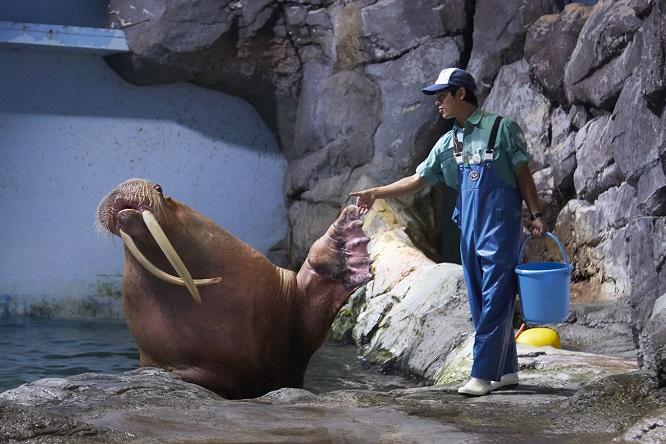 飼育員と握手するセイウチ