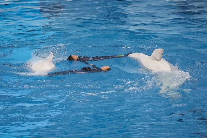 シロイルカとプールで円を描くトレーナー