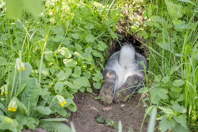 穴に掘るうさぎ