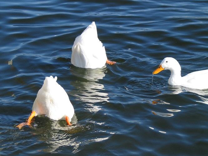 3羽のアヒルが湖に浮いている