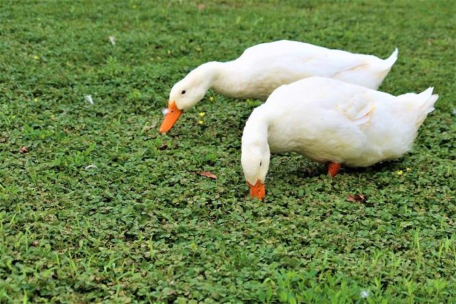 2羽のアヒルが雑草を食べている