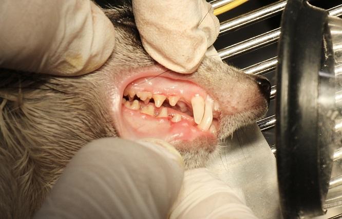 歯石がなくなったミーアキャットの画像