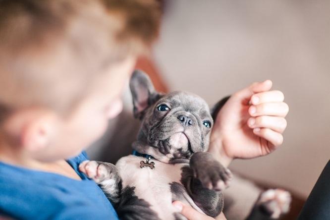抱っこされるフレブルの赤ちゃん