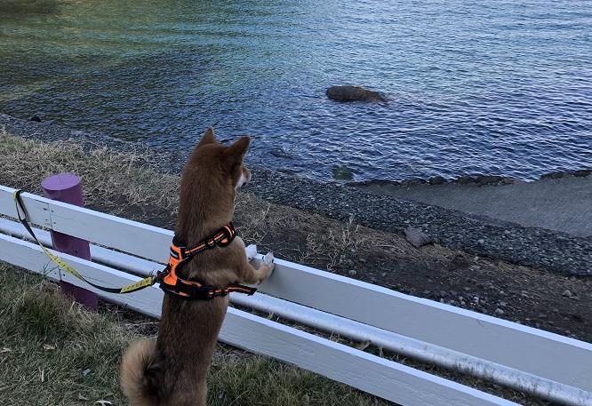 海を眺める柴犬