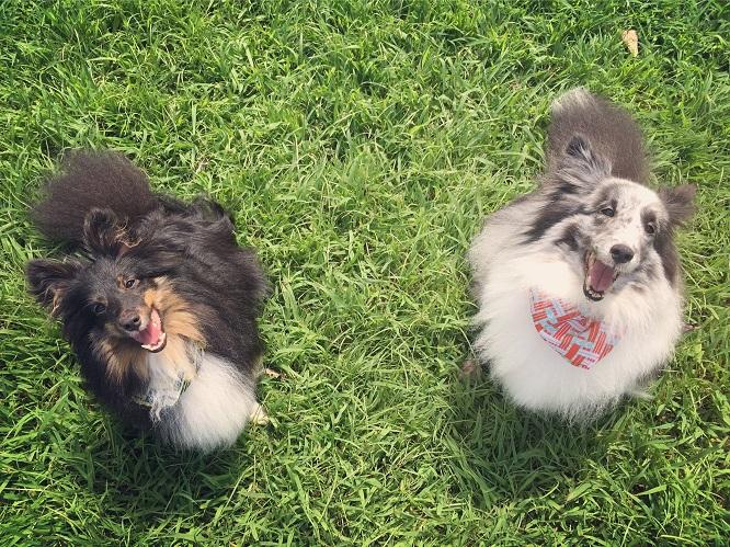 芝生の上に2頭のシェルティ