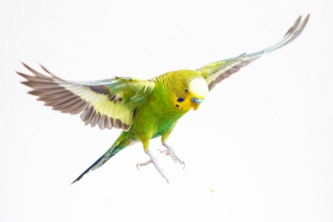 飛ぶインコの画像