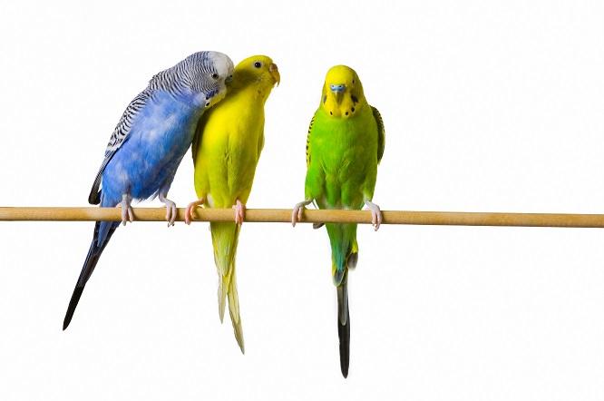 止まり木につかまる3羽のインコ