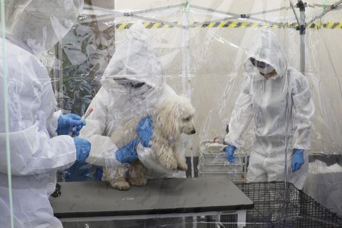 PCR検査を受ける犬