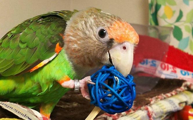 おもちゃを齧る鳥