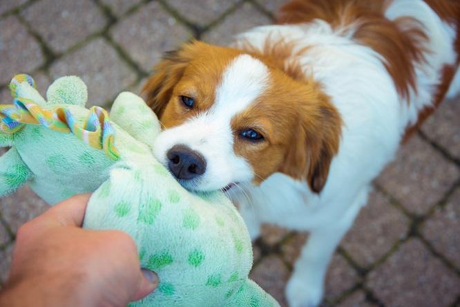 ぬいぐるみを引っ張る犬
