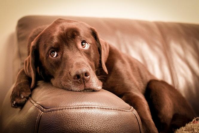 ソファにもたれる犬