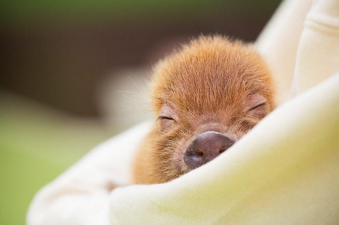 眠るマイクロブタ