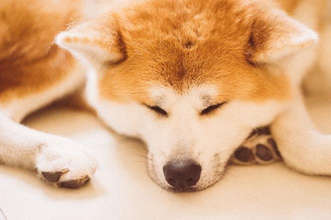 眠る秋田犬