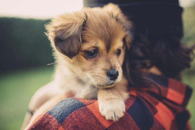 人に抱っこされる子犬