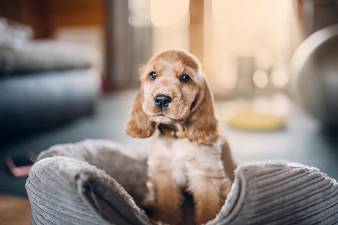 コッカ―の子犬