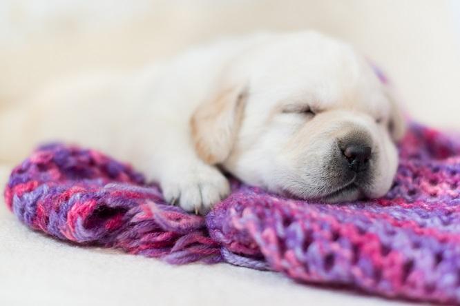 毛布の上で寝るラブラドール・レトリーバーの子犬