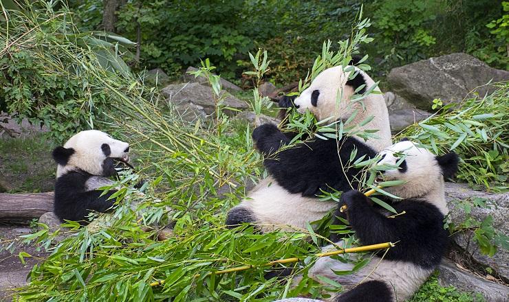 竹を食べる親子パンダ