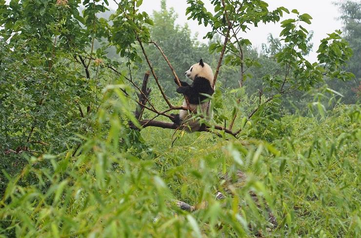 木の上で竹を食べるパンダ