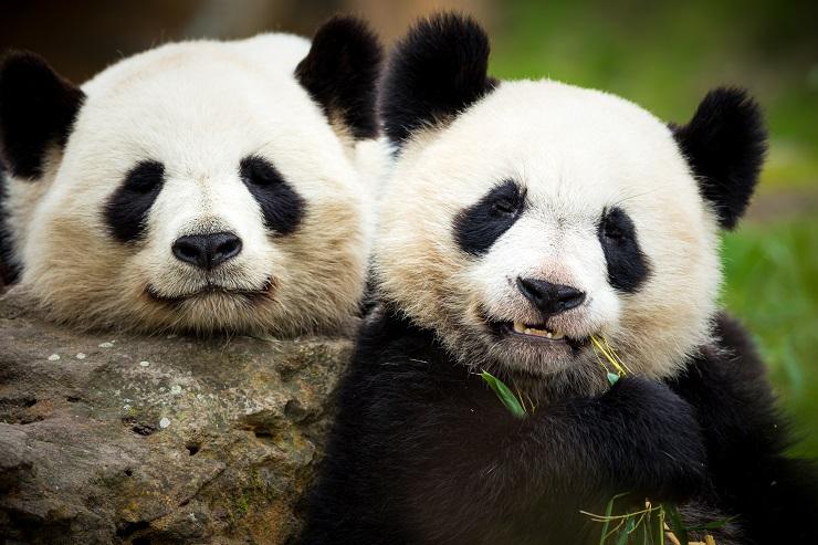穏やかにしている2頭のパンダ