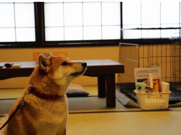 和室でくつろぐ柴犬