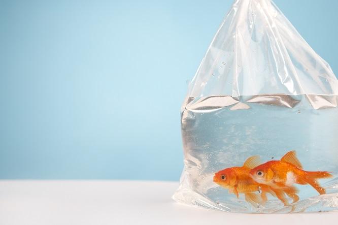袋に入った金魚