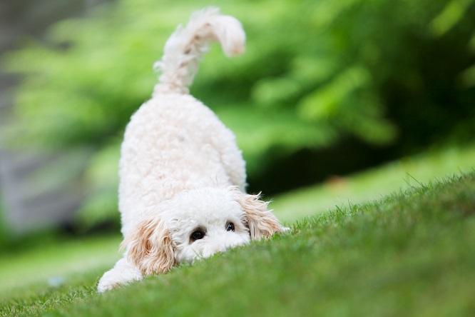 白い犬のしっぽ